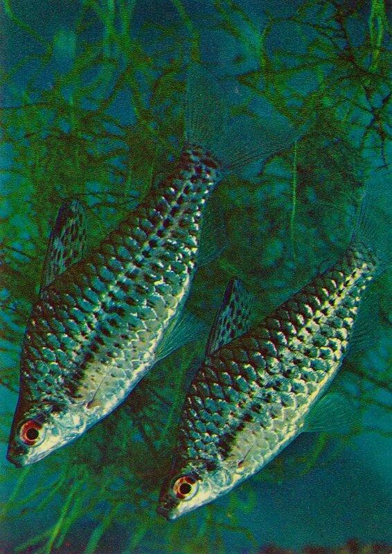 Хилодус Chilodus punctatus (Muller, Troschel)