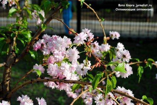 В Луганске цветет сакура
