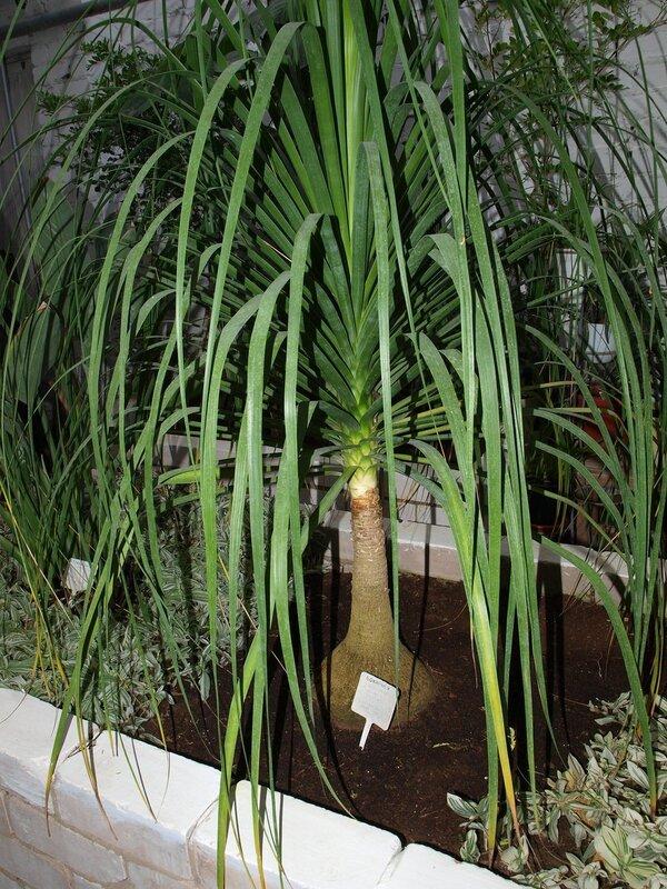 Бокарнея (Нолина) бутылочная пальма