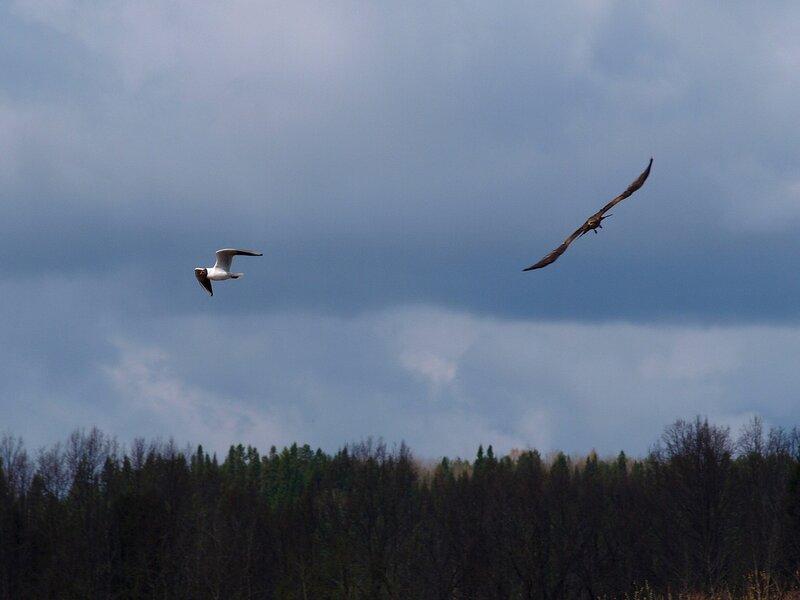 Чёрный коршун (Milvus migrans) P5021645.jpg