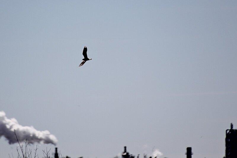 Чибис (Vanellus vanellus) на фоне труб Кирово-Чепецкого химкомбината