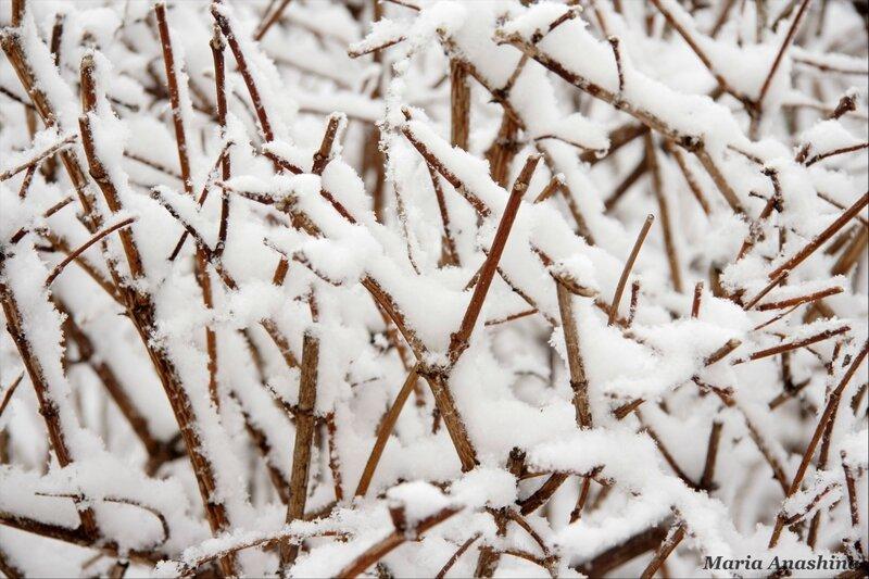Веточки жасмина под снегом
