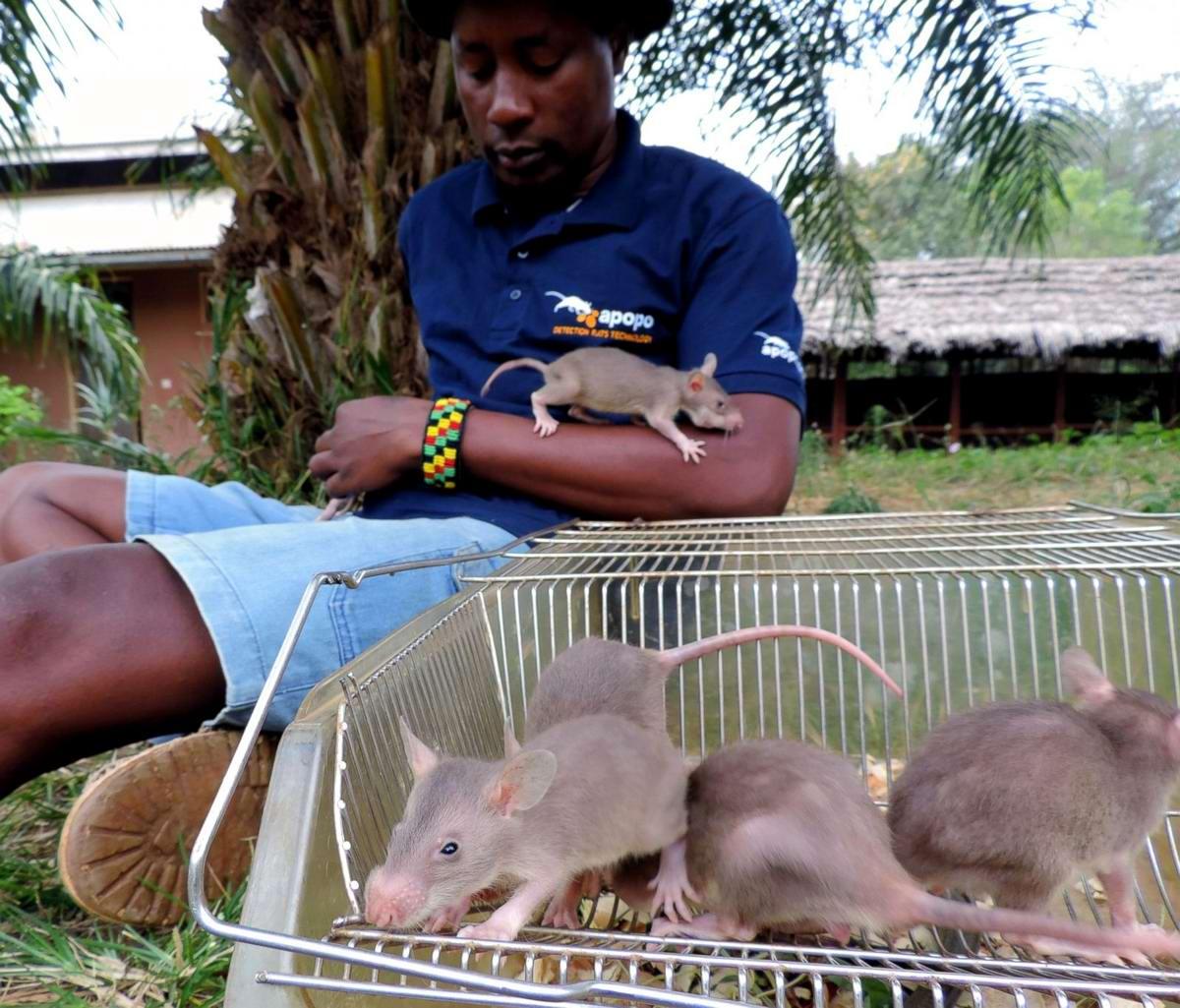 Гамбийские крысы, как лучшие саперы и вынюхиватели противопехотных мин (2)