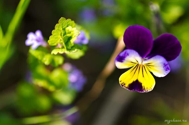 Полевой цветочек