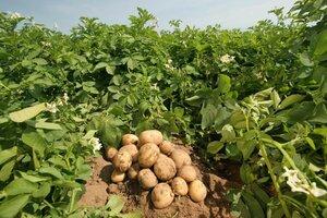 В Молдове картофель подорожает вдвое