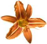 feli_gs_flower4.png