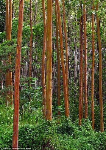 Разноцветные деревья