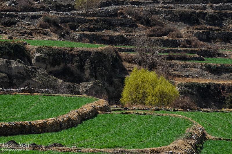 Рисовые поля в какбени, гималаи, непал