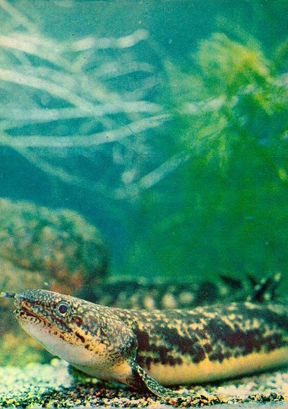Многопер, рыба-змея Polypterus spec.
