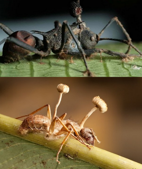 Грибы и муравьи-зомби