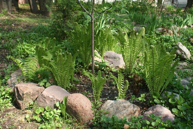 Папоротники в саду дома Ярошенко на Хитровке