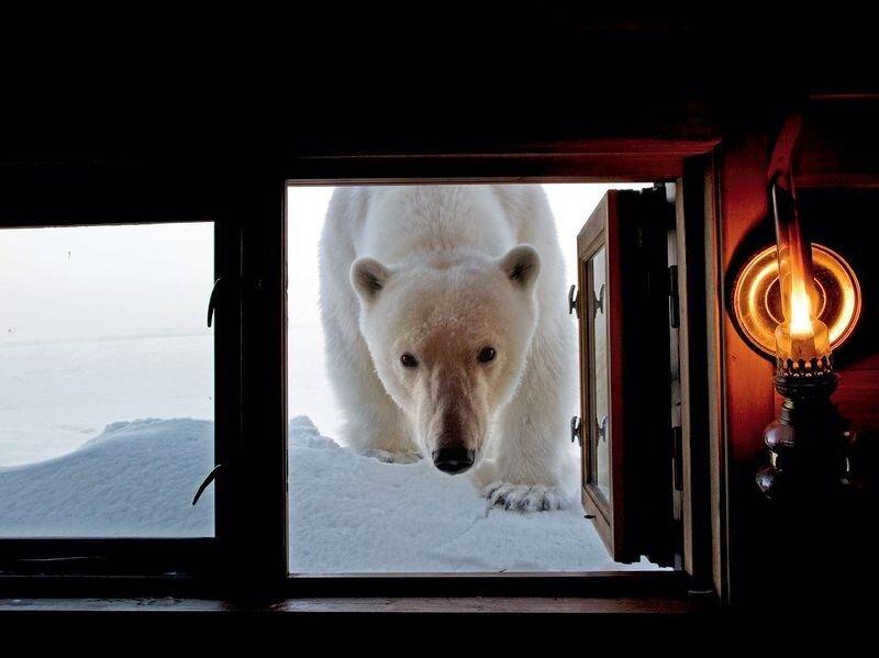 Любознательная медведица в Шпицбергене