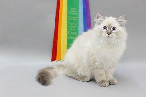 Best Kitten - 60 Ласточка (Female) SIB a 21 33 03 Ладыкова Ю.В.