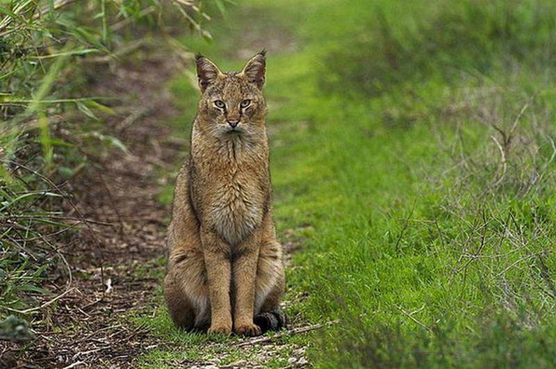 Кот камышовый кавказский