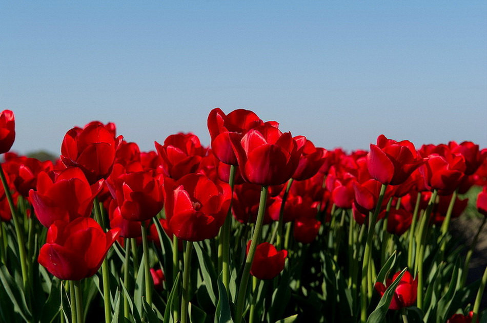 Над полями тюльпанов. 0_bcecc_76873b28_orig