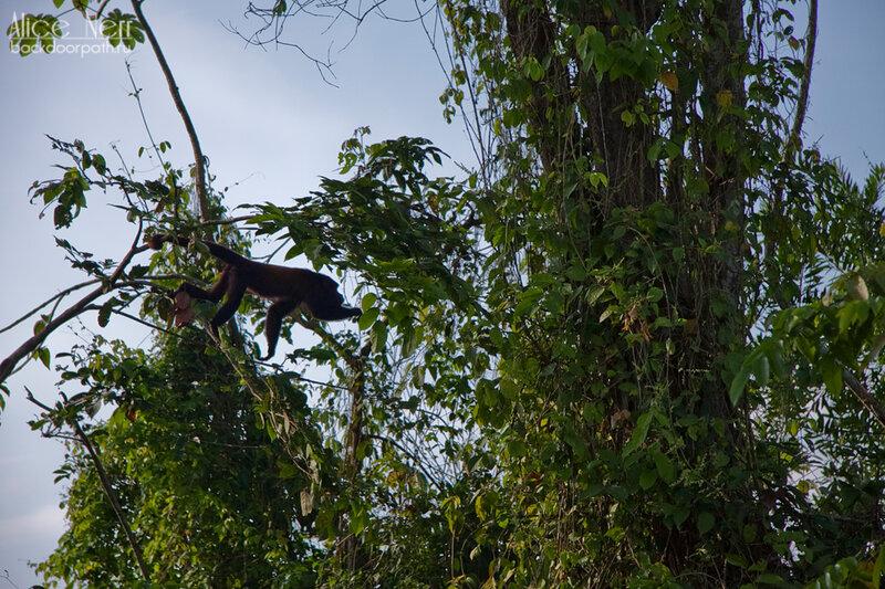 обезьяна на ветках, кататумбо, марокайбо, венесуэла