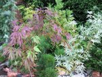 Acer pal. 'Burgundy Lace' и Acer pal. 'Butterfly'