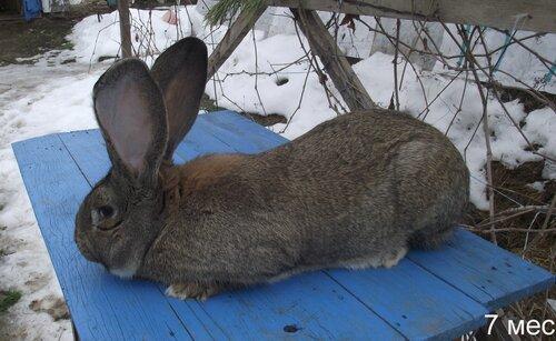 Бельгийский Великан(Обр,Ризен,Фландр) Кролики гиганты.часть 2 0_9ad72_4803d0ad_L
