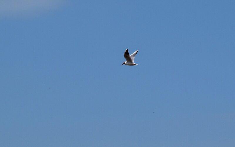 Озёрная чайка P5172802