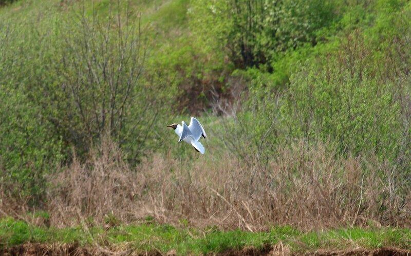 Озёрная чайка над зелёными берегами реки P5172819