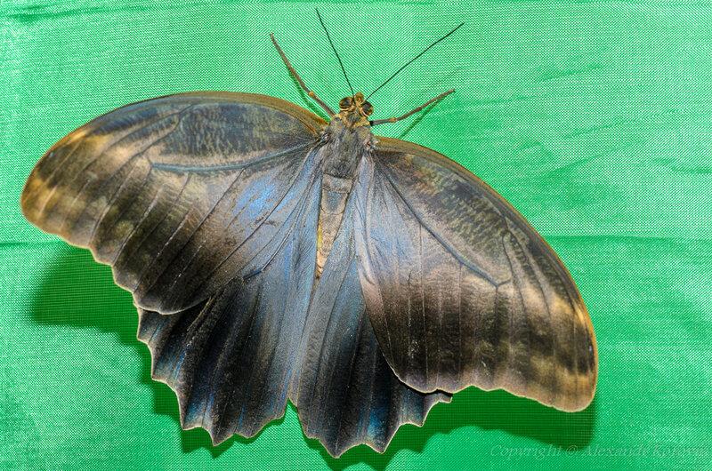 Калиго эврилокус - вид сверху