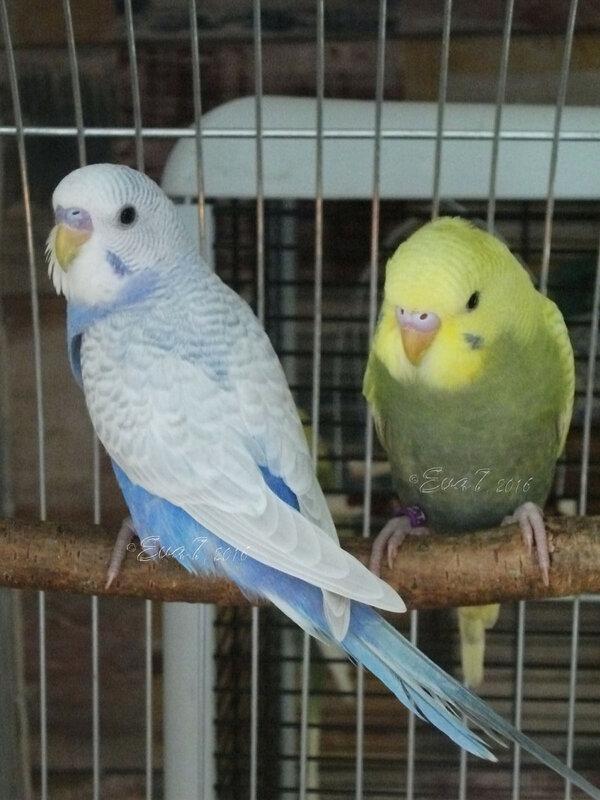 Продам птенцов волнистого попугая. Киев 0_c34df_e11ca207_XL