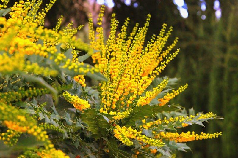 Зимние цветы Партенита.Магония
