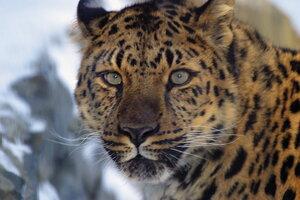 В Приморском крае проходит учет леопарда
