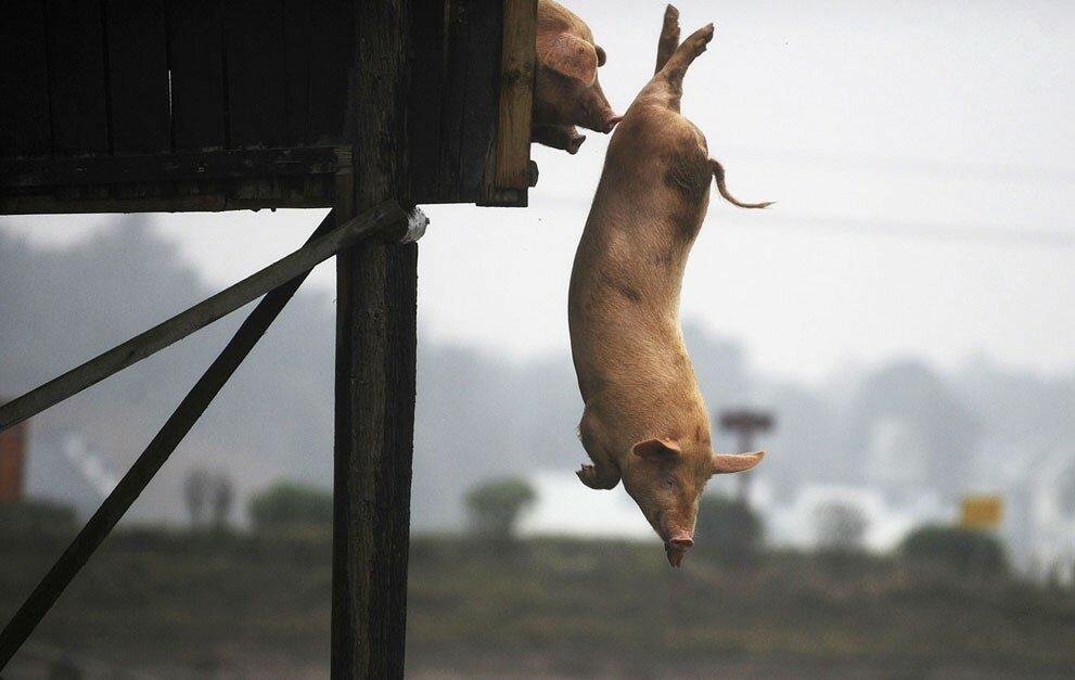 Свиньи ныряют в воду в уезде Нинсян, провинция Хунань, Китай, 15 ноября 2012