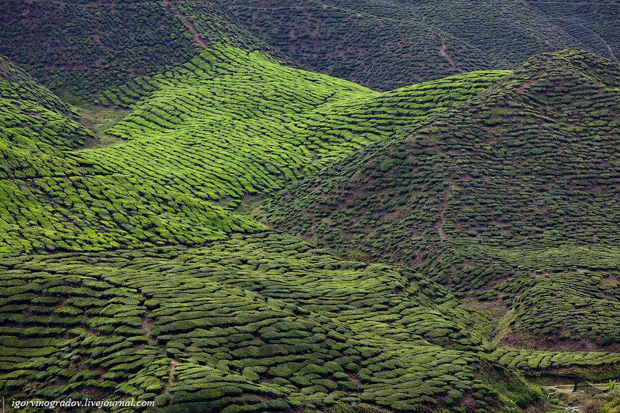 Конкурс: чай с камеронских плантаций Малайзии.: igorvinogradov