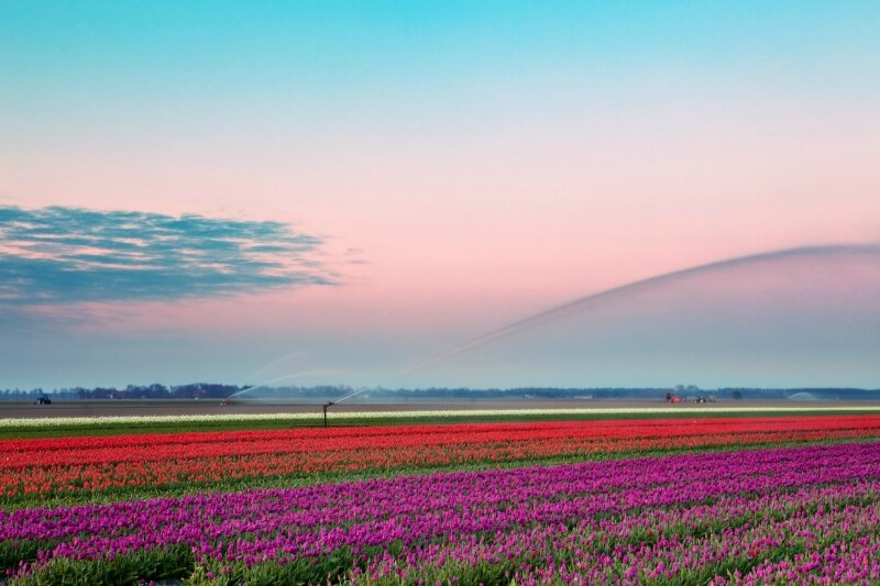 Watering the Dutch tulips