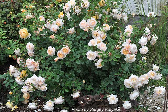 Rosa Crocus Rose (1).JPG