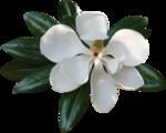 magnolia 12.png