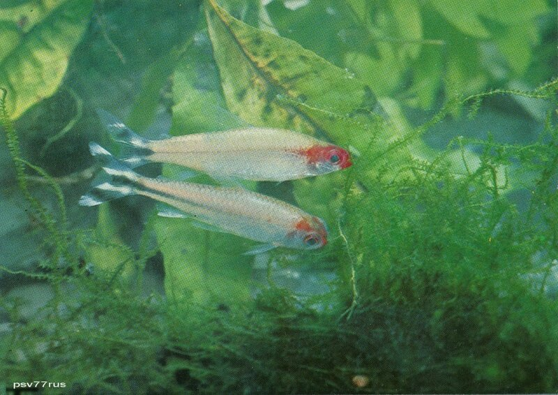 Красноносая тетра (Hemigrammus rhodostomus) и ложная красноносая тетра (Petitella georgiae).