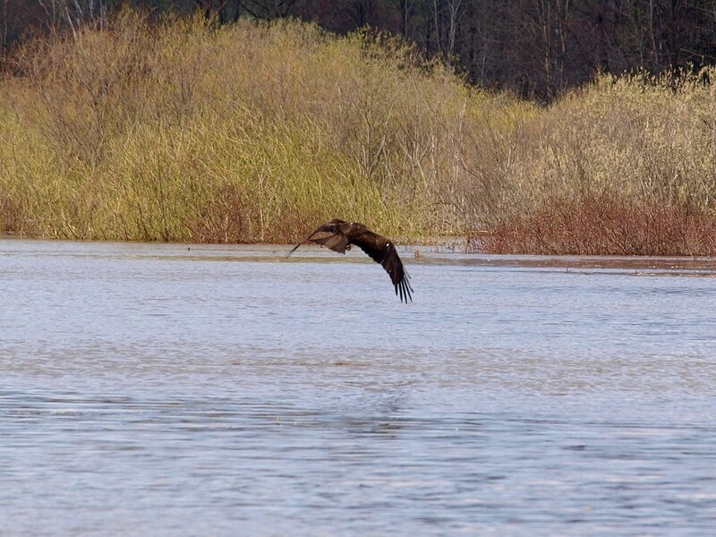 Чёрный коршун (Milvus migrans) P5021638.jpg