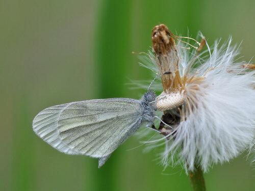 Беляночка горошковая (Leptidea sinapis) Автор: Владимир Брюхов