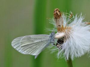 Беляночка горошковая (Leptidea sinapis)Альбом:  Мир под ногами / Полужесткокрылые - Hemiptera / Чешуекрылые - Lepidoptera / Pieridae - Белянки