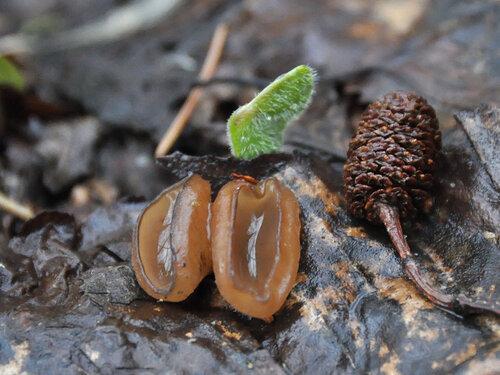 Альбом:  Грибы - Fungi Ascomycota - Сумчатые грибы Прочие сумчатые грибы Автор фото: Владимир Брюхов