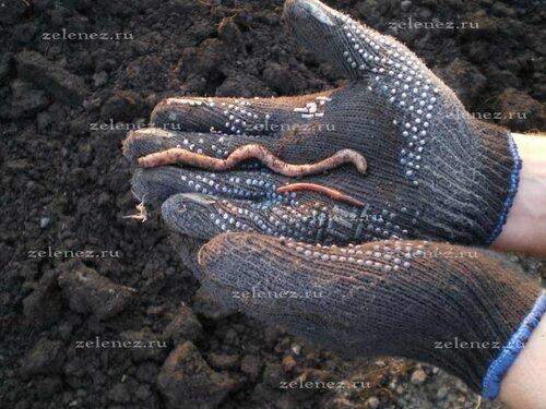 О червях дождевых