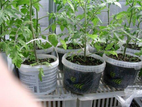 Посадка рассады помидор в пеленку 15