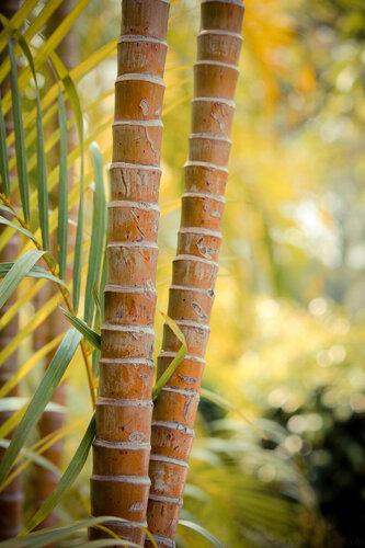 2 вариант  бамбука