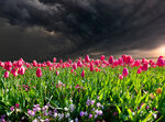 Tulips Before the Storm