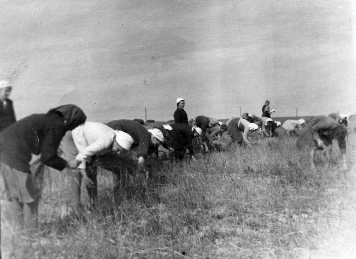 Учителя Васильевской школы на сборе колосков, 1951 год. село Васильевское Шуйского р-на, Ивановская обл