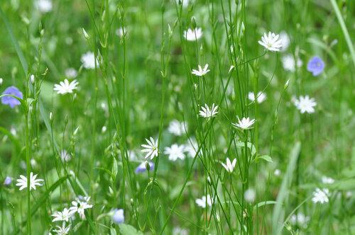 Альбом: Мой плантариум Caryophyllaceae - Гвоздиковые Автор фото: Владимир Брюхов