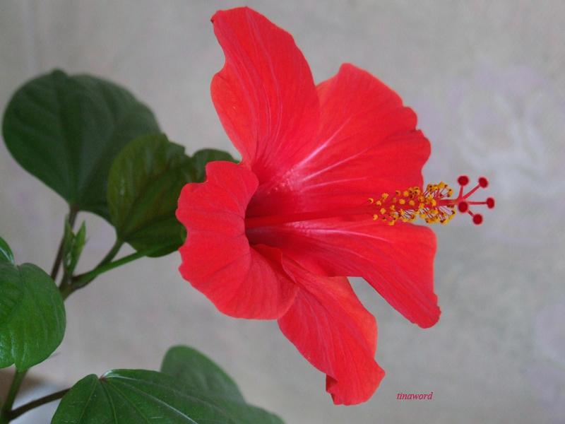 китайская роза 1.jpg