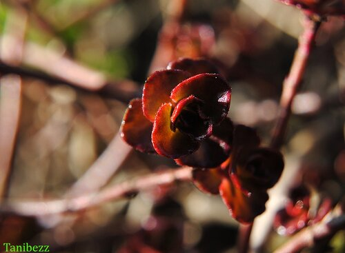 "Очиток Ложный ""Purpurea"""