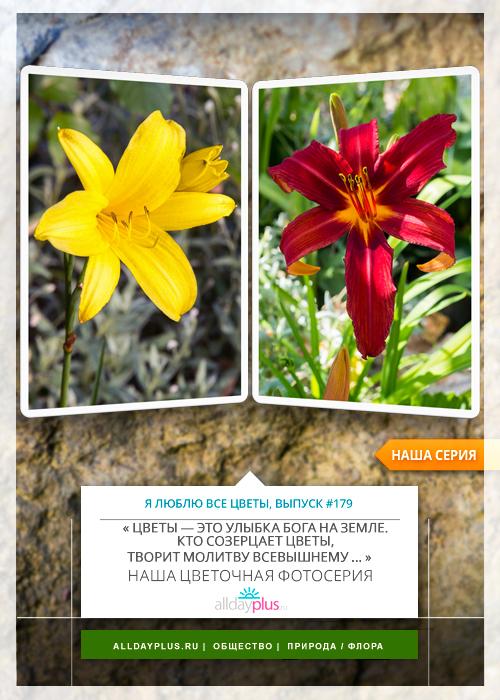 Я люблю все цветы, выпуск 179 |  Лиле́йник, или Красодне́в.