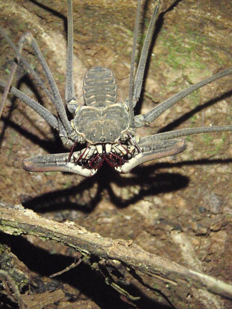 Фрины (Amblypygi) или бесхвостые скорпионы