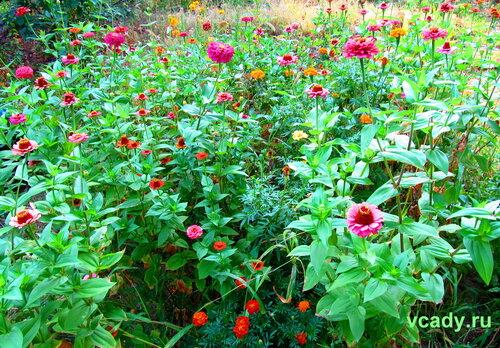 садовые однолетники