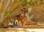 фото тигра лежащего